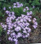 Photo Garden Flowers Glory of the snow (Chionodoxa), lilac