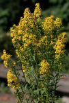 Photo Goldenrod characteristics
