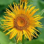 Photo Telekia, Yellow Oxeye, Heartleaf Oxeye characteristics