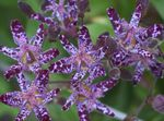 Photo Toad Lily characteristics