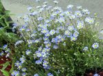 Photo Garden Flowers Blue Daisy, Blue Marguerite (Felicia amelloides), light blue