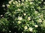 Photo Canada Anemone, Meadow Anemone characteristics