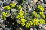 Photo Garden Flowers Rydberg Twinpod, Double Bladderpod (Physaria), yellow