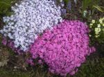 Photo Creeping Phlox, Moss Phlox characteristics