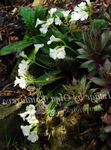 Photo Garden Flowers Haberlea , white