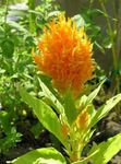 Photo Garden Flowers Cockscomb, Plume Plant, Feathered Amaranth (Celosia), orange