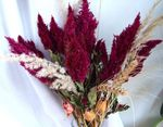 Photo Garden Flowers Cockscomb, Plume Plant, Feathered Amaranth (Celosia), burgundy