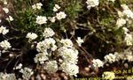 Photo Garden Flowers Schivereckia , white