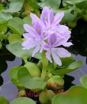 Photo Water hyacinth characteristics