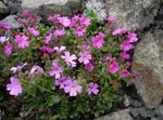 Photo Garden Flowers Fairy Foxglove (Erinus alpinus), pink