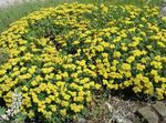 Photo Garden Flowers Buckwheat (Eriogonum), yellow