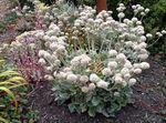 Photo Garden Flowers Buckwheat (Eriogonum), white