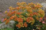 Photo Garden Flowers Buckwheat (Eriogonum), orange