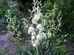 Photo Garden Flowers Adam's needle, Spoonleaf Yucca, Needle-Palm (Yucca filamentosa), white