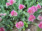 Photo Garden Flowers Kidney Vetch, Lady's Fingers (Anthyllis), pink