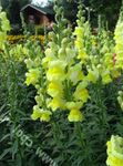 Photo Garden Flowers Snapdragon, Weasel's Snout (Antirrhinum), yellow