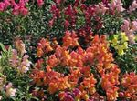 Photo Garden Flowers Snapdragon, Weasel's Snout (Antirrhinum), orange