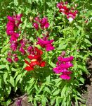 Photo Garden Flowers Snapdragon, Weasel's Snout (Antirrhinum), red