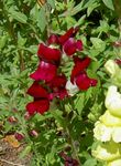 Photo Garden Flowers Snapdragon, Weasel's Snout (Antirrhinum), burgundy