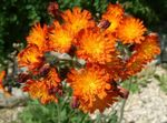 Photo Yellow hawkweed, Fox and Cubs, Orange Hawkweed, Devil's Paintbrush, Grim-the-Collier, Red Daisy characteristics