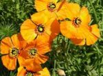 Photo Wind Poppy characteristics
