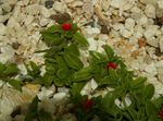 Baby Sunrose, Heartleaf Ice Plant