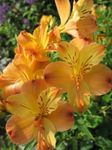 Photo Alstroemeria, Peruvian Lily, Lily of the Incas characteristics