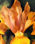 Photo Dutch Iris, Spanish Iris characteristics