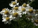 Photo Sneezewort, Sneezeweed, Brideflower (Achillea ptarmica), white