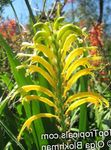Photo Pennants, African Cornflag, Cobra Lily characteristics