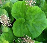Photo Butterbur characteristics