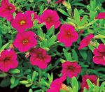 Photo Calibrachoa, Million Bells characteristics