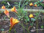 Photo Garden Flowers Rain Lily (Habranthus), orange