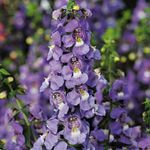 Photo Angelonia Serena, Summer Snapdragon characteristics