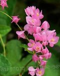Photo Mexican Coral Vine, Coral Creeper, Honolulu Creeper, Corallita, Chinese Love Vine characteristics