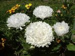Photo China Aster characteristics