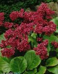 Photo Garden Flowers Bergenia , red