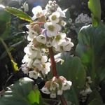 Photo Garden Flowers Bergenia , white