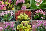 Photo Garden Flowers Bergenia , blue