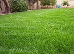 Photo Ornamental Plants Rye Grass cereals (Lolium), green