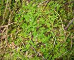 Spring meadow spikemoss, Swiss clubmoss