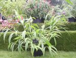 Photo Ornamental Plants Foxtail Millet cereals (Setaria), green
