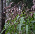 Photo Ornamental Plants Spangle grass, Wild oats, Northern Sea Oats cereals (Chasmanthium), brown