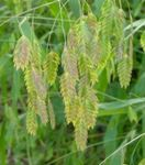 Photo Ornamental Plants Spangle grass, Wild oats, Northern Sea Oats cereals (Chasmanthium), green