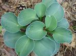 Photo Plantain lily leafy ornamentals (Hosta), light blue