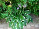 Photo Plantain lily leafy ornamentals (Hosta), multicolor