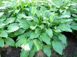 Photo Plantain lily leafy ornamentals (Hosta), green