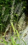 Photo Ornamental Plants Bottlebrush Grass cereals (Hystrix patula), light green