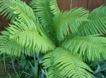 Male fern, Buckler fern, Autumn Fern