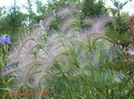 Photo Foxtail barley, Squirrel-Tail characteristics